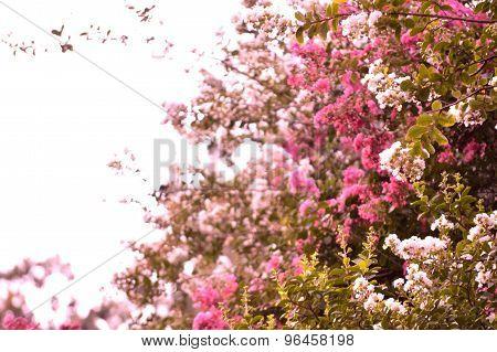 Rosy Hued Shot Of Crepe Myrtle Trees