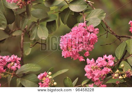 Pink Crepe Myrtle Flowers Closeup, Faded