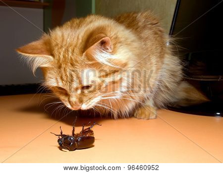 Cats Beetle