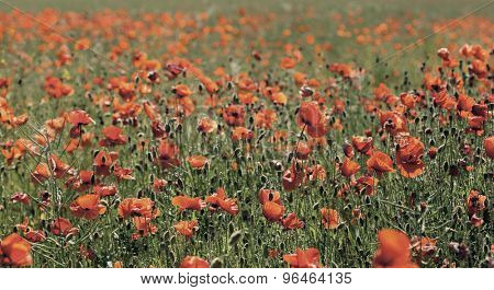 red poppy on the field backgrounds