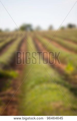 Blur Shot Of Harvested Lavender Field