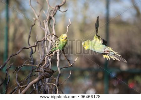 Budgie Flying With His Wings Spread