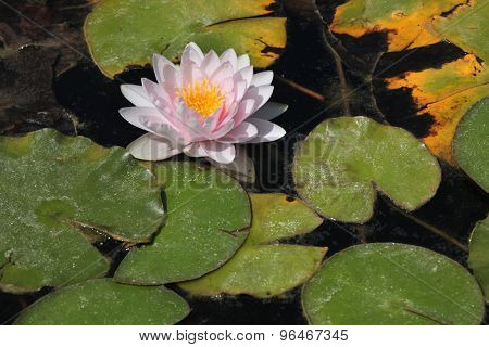 Star lotus (Nymphaea nouchali), also known as the white water lily.