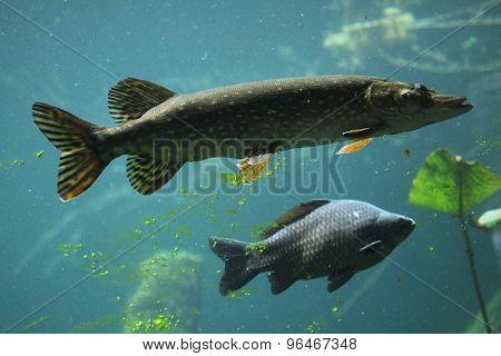 Northern pike (Esox lucius) and wild common carp (Cyprinus carpio). Wildlife animal.