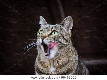 Portrait Of Licking Cat With Green Eyes Outdoors