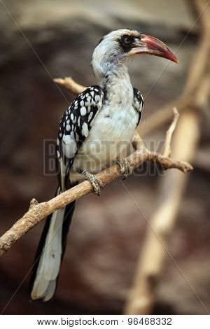 Northern red-billed hornbill (Tockus erythrorhynchus). Wild life animal.