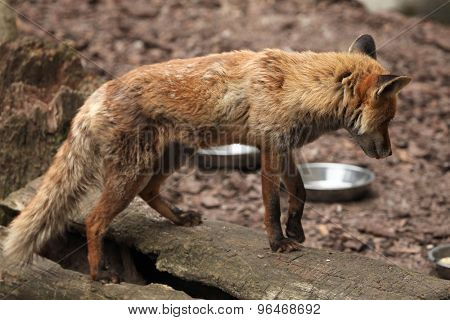 Red fox (Vulpes vulpes) inspecting empty bowls. Wild life animal.