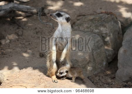 Meerkat (Suricata suricatta), also known as the suricate with a baby. Wildlife animal.
