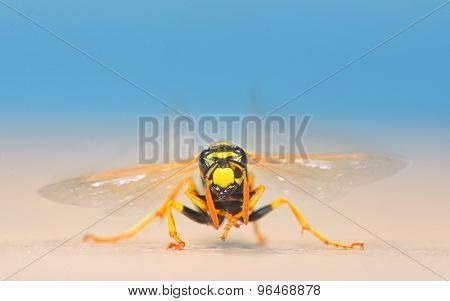 European giant hornet in summer time
