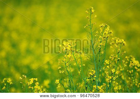 Nature Background: Blooming Yellow Canola