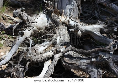 Old Dead Tree Roots and Trunk