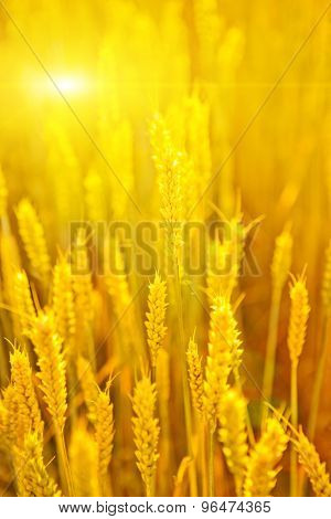 Backdrop of ripening ears of yellow wheat field.