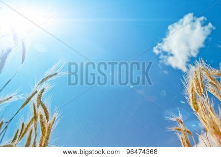 Golden wheat field in summer