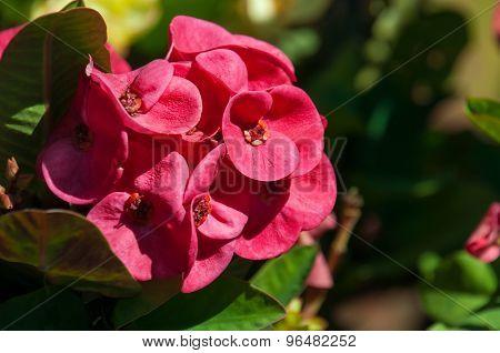 Pink Euphorbia Milii Flower