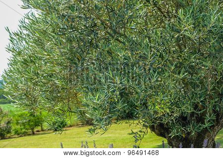 Beautiful Olive Tree Foliage On Lawn