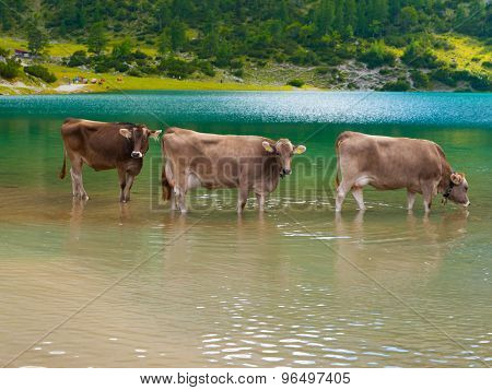 Three alpine cows standing in the lake