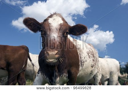 Closeup Cow