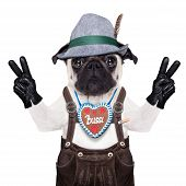 foto of pug  - pug dog dressed up as bavarianisolated on white backgroundwith peace or victory fingers - JPG