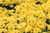 stock photo of chrysanthemum  - Yellow Chrysanthemum flower in garden tropical country - JPG