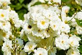 stock photo of flying-insect  - Lovely white roses in all stages of its bloom - JPG