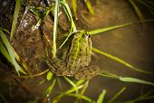 picture of amphibious  - Green frog in the water - JPG