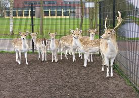 picture of bucks  - A roe deer herd with a roe - JPG