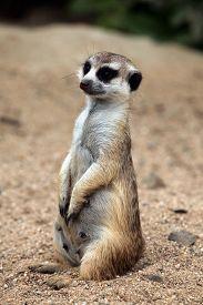 pic of meerkats  - Meerkat  - JPG