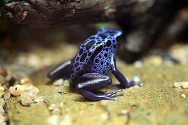 image of poison arrow frog  - Blue poison dart frog  - JPG