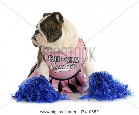 cheerful dog - english bulldog dressed up like cheerleader with pompoms on white background