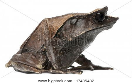 Long-nosed Horned Frog, Megophrys nasuta, in front of white background