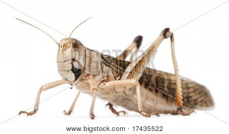 Migratory locust, Locusta migratoria, in front of white background