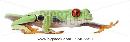 Red-eyed Treefrog, Agalychnis callidryas, walking in front of white background