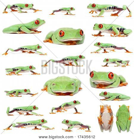 Red-eyed Treefrogs, Agalychnis callidryas, in front of white background