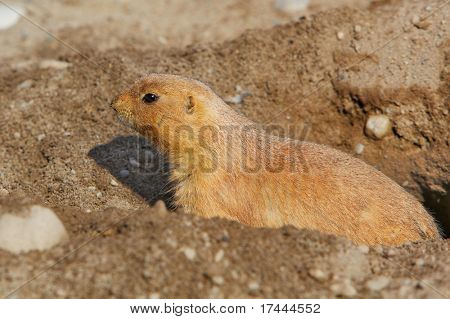 Close up a single prairie dog guarding it hole in the ground