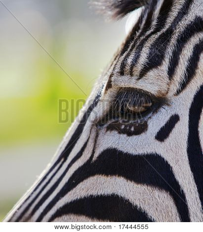 Close up a single zebra eye and a portion of the head  bisecting the image on a diagonal