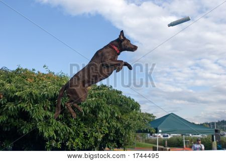 Dock Diving Labrador Retriever