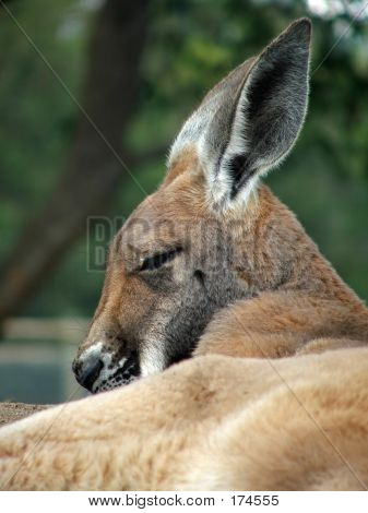 Animal - Kangaroo