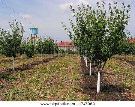 Rows Of Trees In The Orchard