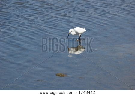 Reflected Egret