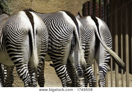 Grevy'S Zebra Butts