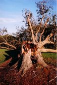 pic of pecan tree  - This is a photo of a downed pecan tree after hurricane Katrina - JPG