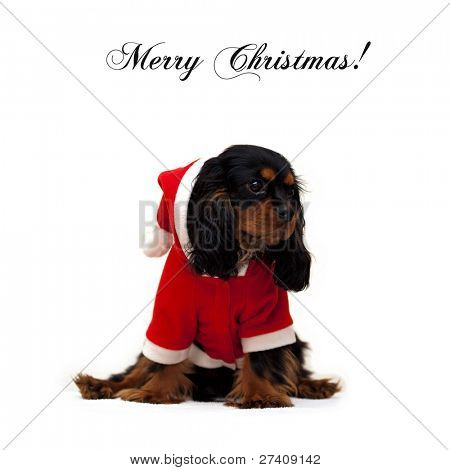 Marmaduke the black and tan Cavalier wears a Santa Suit isolated on white background with Merry Christmas wishes