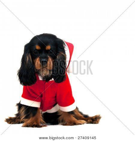Marmaduke black and tan Cavalier viste un traje de Santa, aislado sobre fondo blanco. Espacio para su