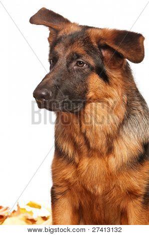 German Shepherd puppy, 5 months old on white background
