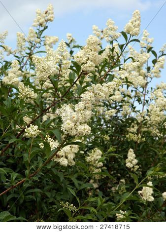 privet hedgerow with white fragrant flowers