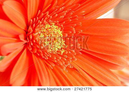 Red Gerber Daisy Closeup