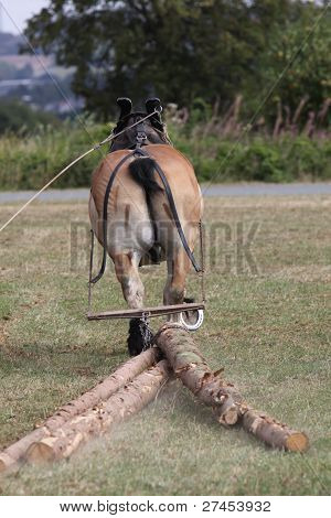 Ardennes Horse Pulls Some Tree Trunks