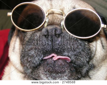 Funny Pug Dog Close Up With Sunglasses
