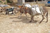 Working Animal Used As Draught Or Pack Animals In Underdeveloped Areas, Donkeys (ass, Mule, Jack) Ca poster