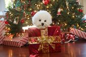 Christmas Dog. A cute white dog sits in a Christmas Box with red wrapping paper and a gold bow. Chri poster